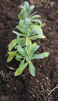 muurbloempje groene planten groeien in tuingrond