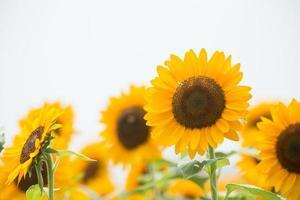 zonnebloem (himawari) foto