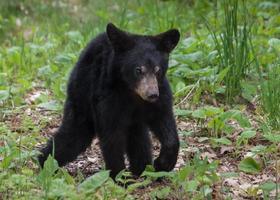 zwarte beer op madeline foto