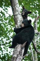 zwarte beer welpen foto