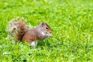 eekhoorn die een noot eet foto