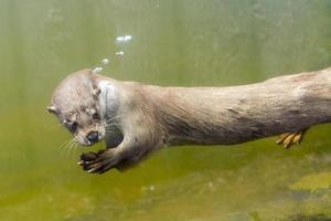 Europese otter (lutra lutra lutra) foto