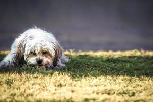 ruige hond foto