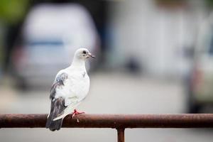 duif foto