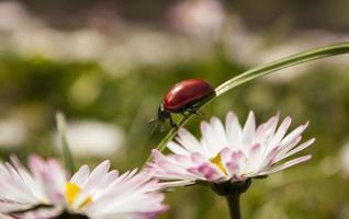 lieveheersbeestje op gras