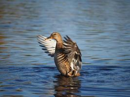eend klapt met zijn vleugels foto
