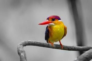 close up van oosterse dwergijsvogel foto
