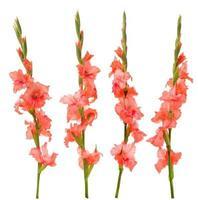 roze gladiolen foto