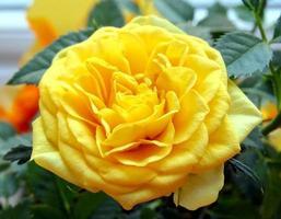 mini gele roos foto