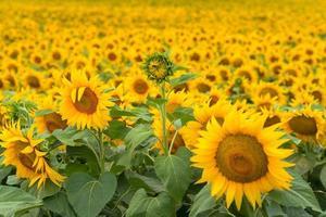 zonnebloemen veld foto