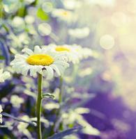 mooie madeliefjes op tuin of park achtergrond, close-up, afgezwakt