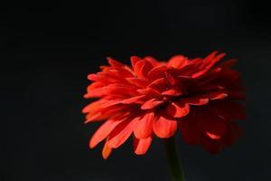 zinnia bloem foto