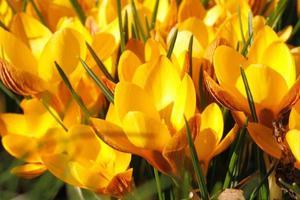 bloeiende krokussen foto