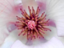 magnolia bloem foto