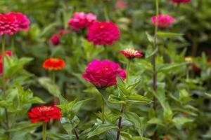 rode bloemen foto