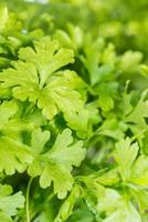 peterselie plant foto