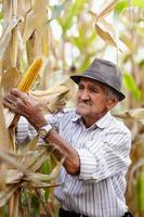 oude man bij maïsoogst foto