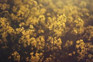 koolzaad bloemen foto