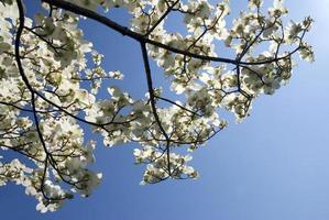 kornoelje bloemen foto