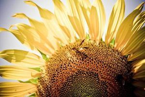 zon bloem