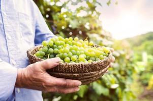man oogsten van druiven foto