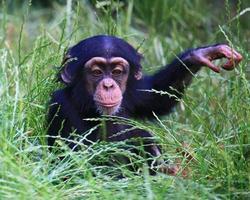 baby chimpansee foto