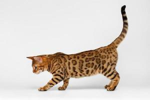 Bengaalse kat die op witte achtergrond loopt
