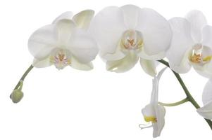 witte orchidee foto