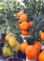 rijpe oranje mandarijnen en citroenen uit Sicilië foto