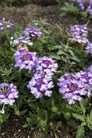 verbena - twister paarse imp. foto