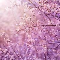 kersenboom bloesem foto