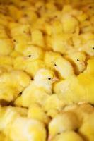 gele kippen foto