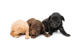 spaniel puppy's foto