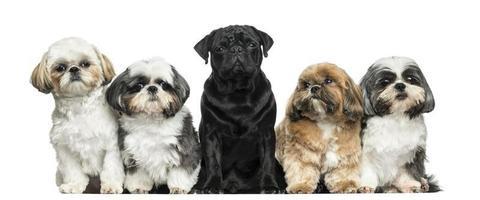 vooraanzicht van honden in een rij, zitten, geïsoleerd foto