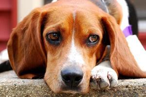 verdrietig (kijkend) puppy geniet van de warmte foto