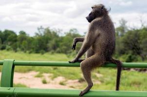 baviaan genieten van het uitzicht foto