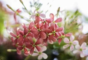rangoon klimplant, quisqualis indica linn in wetenschappelijke naam foto