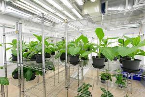 tabaksplant voor het testen van ziekten. foto