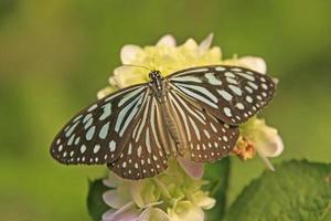 donkere glazige tijgervlinder (parantica agleoides) op gele bloemen foto