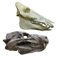 dinosaurus schedel foto