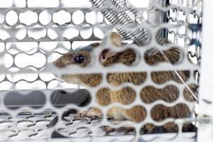 rat in de kooival foto
