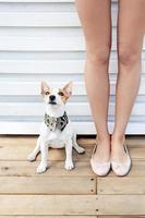 Jack Russell Terrier foto