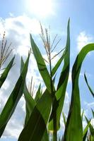 maïs plant groeit in de zomerzon foto