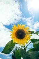 zonnebloem foto