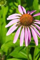 bijen drinken nectar foto