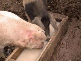 twee varkens drinken foto