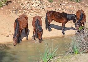 vier paarden drinken foto