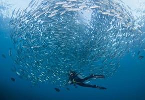 scuba-duiker in het midden van een rondlopende school jacks foto