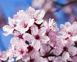 kersen bloemen op blauwe hemelachtergrond foto