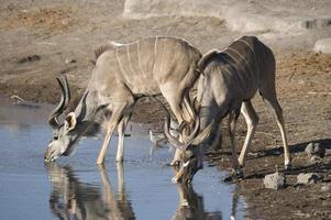 kudu drinken foto